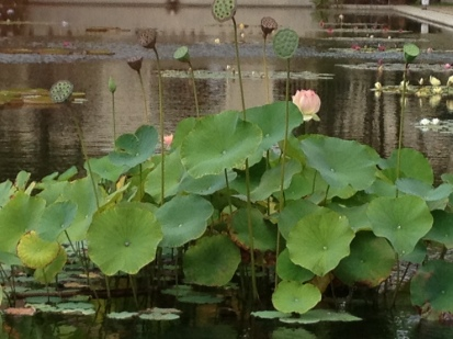 lotus bloom at Balboa Park