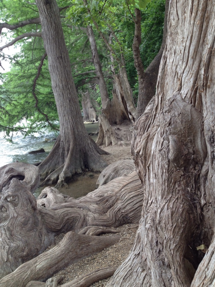 cypress trees with knees