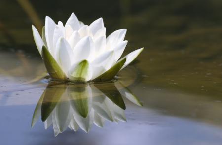 lotus blossom olga lednichinco via CC