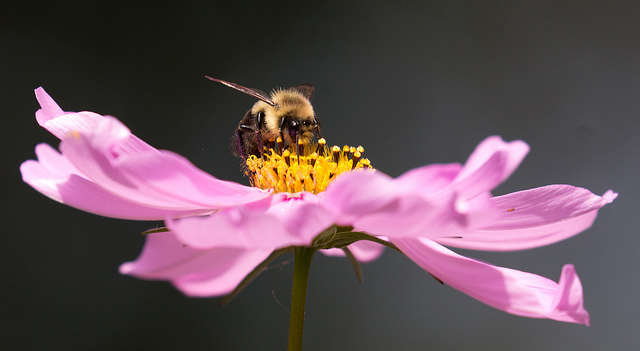 bee on a cosmos flower by ksblack99 via cc public domain