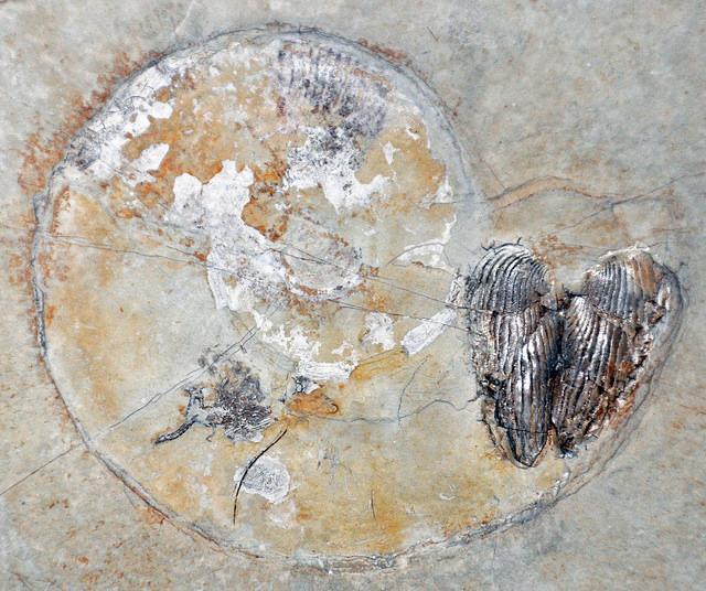 ammonite fossil James St. James via CC